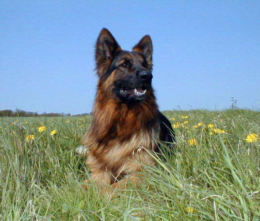 German shepherd for sale uk puppies