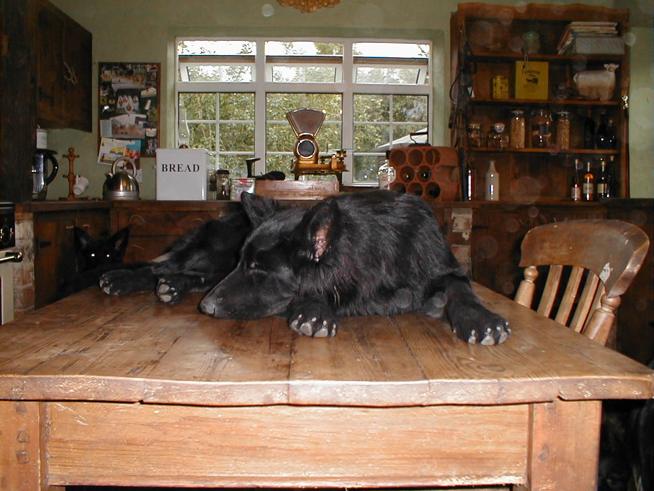 Peaches (Nite and Shadow's daughter and Soul's sister), sleeping where she shouldn't....My kitchen table!!